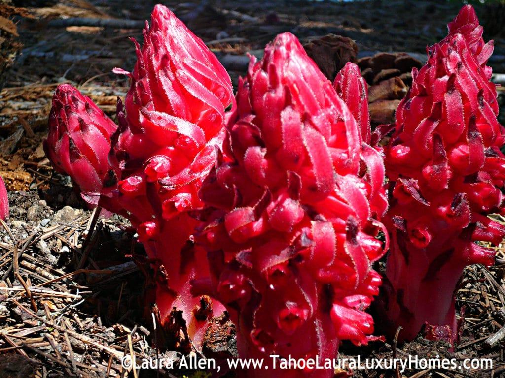 California Snow Flower Lake Tahoe
